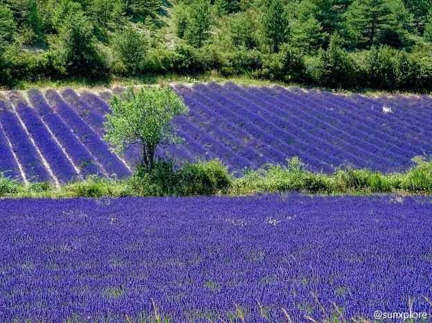 Des champs de lavande à quelques kilomètres des gorges de la méouge, en Drôme provençale