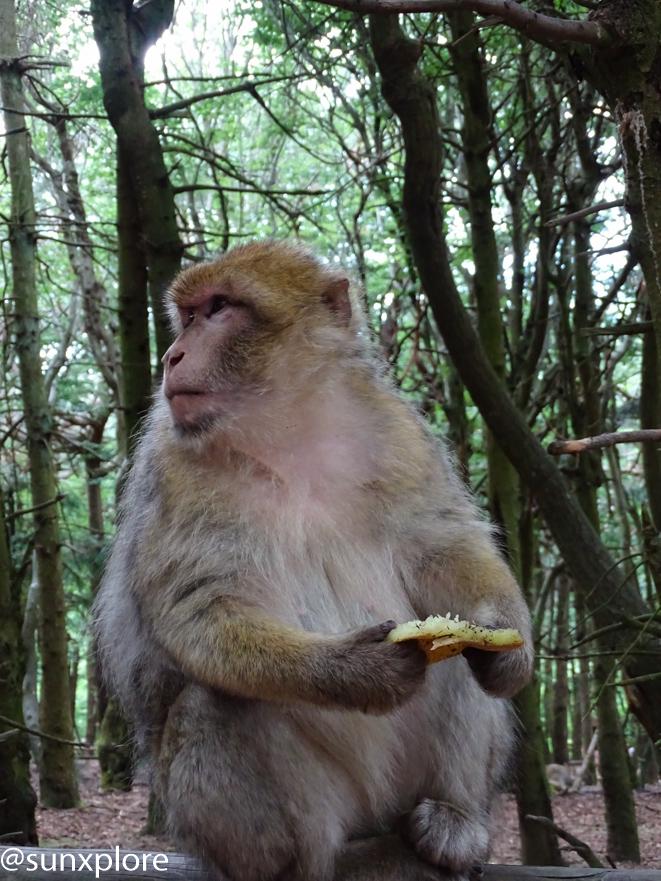 il est possible d'observer des singes en semi-liberté à la montagne des singes
