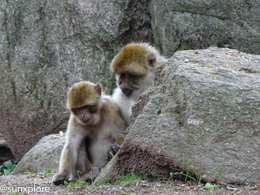 la vie en communauté de deux jeunes magots de la montagne des singes en alsace