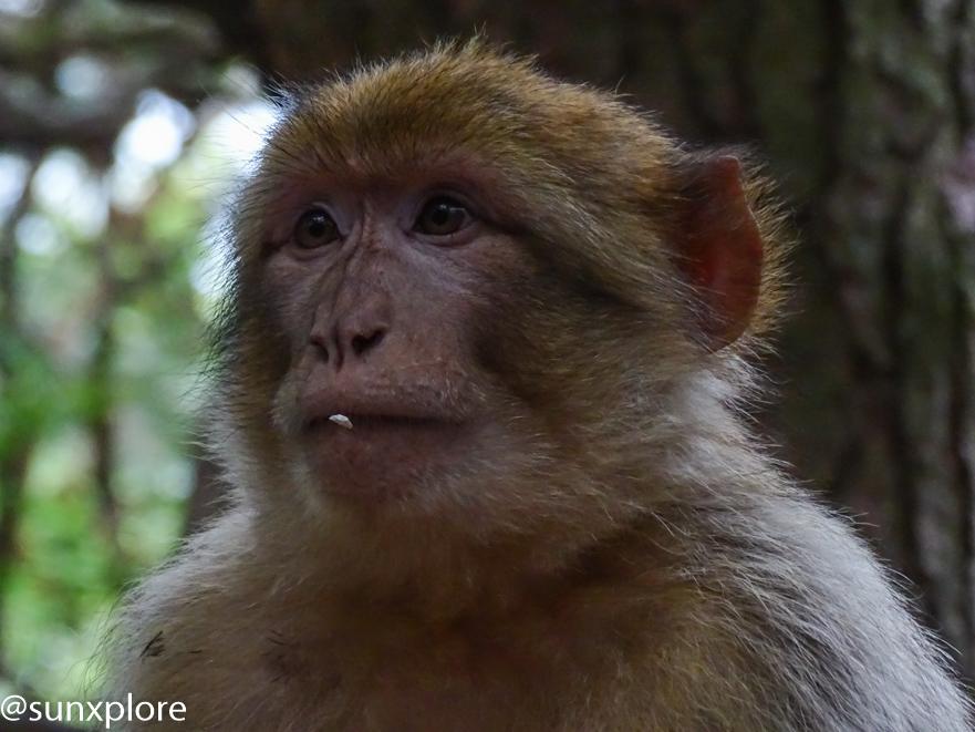 portrait d'un singe en gros plan - La montagne des singes