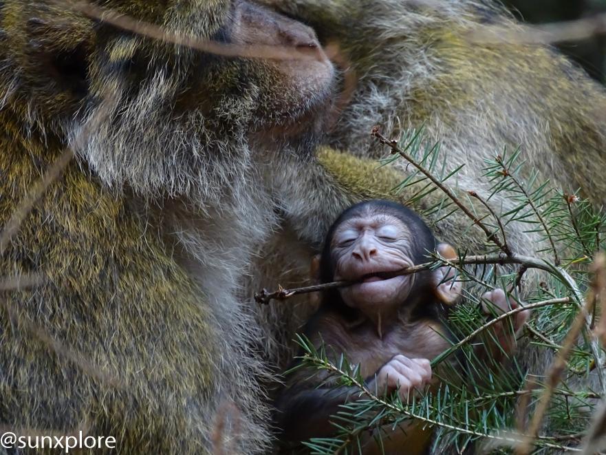 Un bébé singe joue avec une branche de sapin