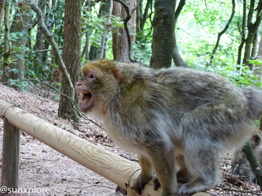 une bagarre de singe