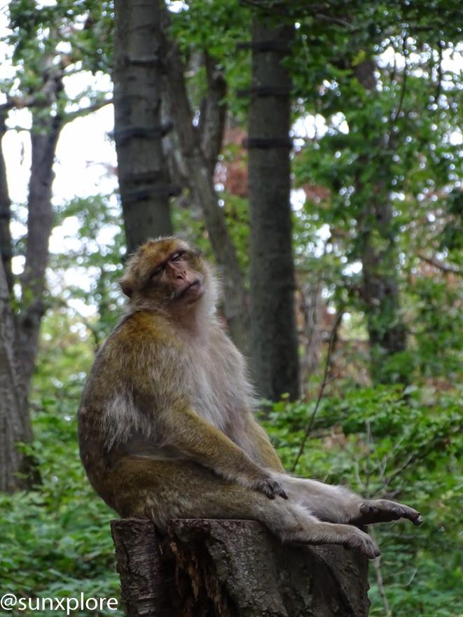 Un singe fait une sieste à la montagne des singes en Alsace