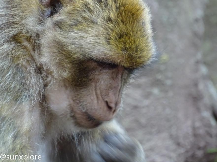 Un singe se laissent approcher de très prés à la montagne des singes en Alsace